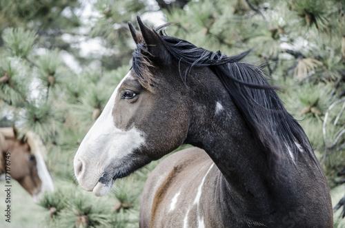 Wild Horse. South Dakota Plakát