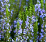 Blossoming rosemary plant - 177185964