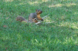 Caught in the act of snitching some corn, this squirrel tries to look innocent. - 177193502