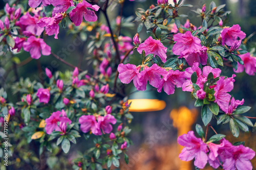 Fotobehang Azalea The beauty of the azalea in the trail of the Black Lake in the city of Gramado - Rio Grande do Sul - Brazil.
