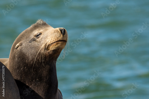 Sea Lion Pup Poster