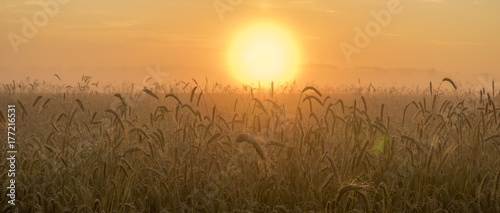 field of grain during the magnificent misty sunrise