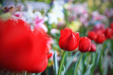 Red tulip in tulip farm - 177223560