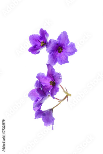 violet flowers isolated Poster