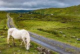 A Connemara pony loose in the Twelve Bens region of Ireland - 177226191
