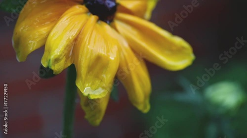 Close up shot of a Black Eyed Susan flower in the rain, raindrops.