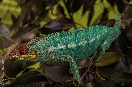 Fotobehang Kameleon camaleonte acquario genova