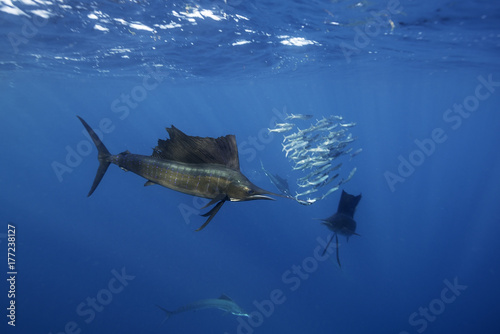 Atlantic sailfish hunting sardines in the waters off Isla Mujeres just outside Cancun, Mexico Poster