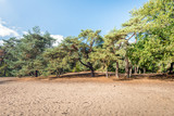 Sand area in a nature reserve with pine trees - 177238785