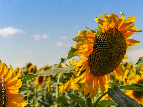 Sunflower bloom point down on a bright sky Poster