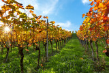 Vineyards in autumn. Autumnal landscape in the vineyards of Southern Germany on a sunny evening. - 177249595