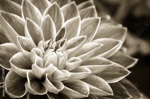 Details of dahlia fresh flower macro photography. Sepia photo emphasizing texture and intricate floral patterns. - 177251975