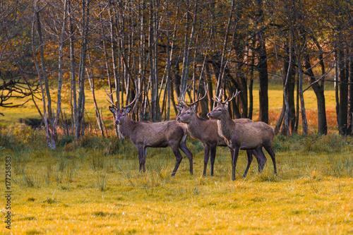 Papiers peints Miel Group of red deers in autumnal meadow .Red deers in nature during autumn