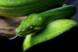Green Tree Python/ Chondropython azureus/ Morelia Viridis - 177261509