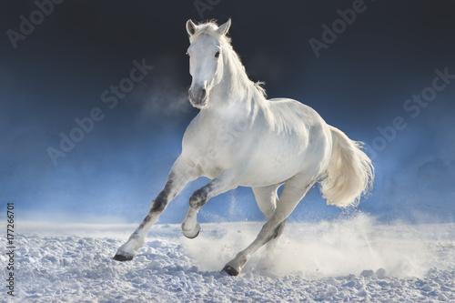 White horse run in snow field against dark background