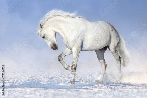 Beautiful white horse run in snow field Poster