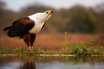 Close-up of an African fish eagle, Haliaeetus vocifer sitting on the shore of small lake and calling against reddish blurred savanna in background. Low angle photography, KwaZulu Natal, South Africa.
