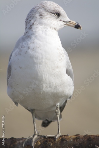 Foto op Canvas Natuur Ring-billed Gull