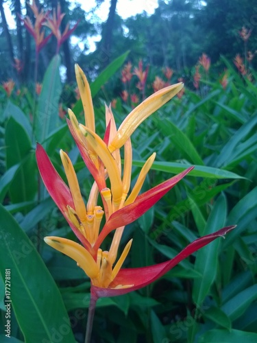 Heliconia psittacorum flower in a Singaporean garden Poster