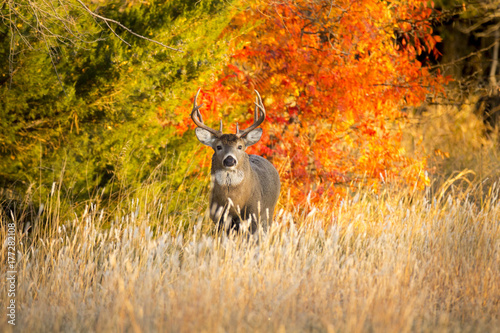 Fotobehang Hert This Whitetail Buck was searching for doe along this very colorful tree line at sunrise on this late Autumn morning.