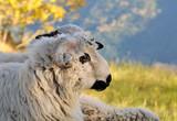 face of horned white ram - 177288921