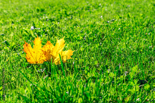 two yellow maple leafs on a green meadow with sunshine