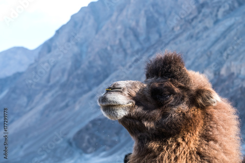 Closeup image of a camel with mountain background Poster