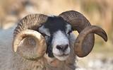 sheep - 177305551