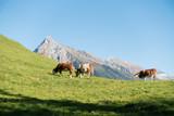 Milchkühe auf einer Almwiese mit Berggipfel im Hintergrund - 177311347