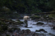 Spirit bear (Kermode bear) fishing in a salmon stream in the Great Bear Rain Forest of British Columbia, Canada