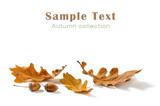 Oak leaves and acorns isolated on white background - 177332723