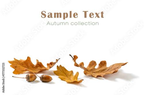 Dębowi liście i acorns odizolowywający na białym tle