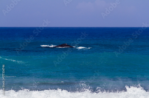 Humpback whales swimming close to shore on the north shore of Oahu Hawaii Poster