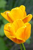 Tulpen - 177342377