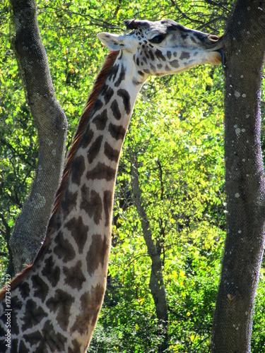 Giraffe Licking a Tree Poster