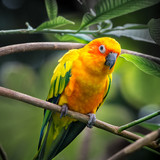 Sun Conure parrot (Aratinga solstitialis) perched on a branch in a tropical forest - 177357995
