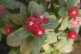 3 Tiny Red Flowers - 177365731