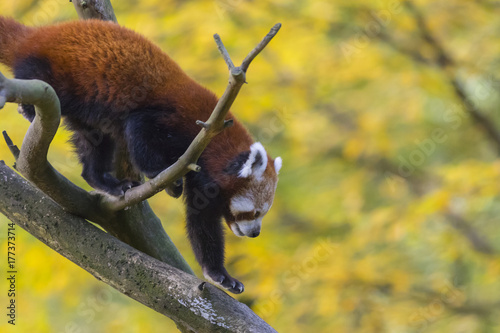 red panda in autumn forest Poster