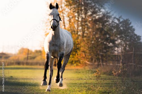 Plexiglas Paarden Beautiful arabian horse run gallop in flower field