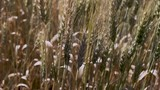 Slow motion close up of wheat swaying in the wind - 177380567