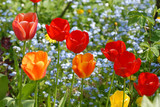Beautiful spring tulips - 177388372