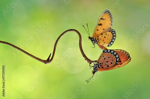 Fotobehang Vlinder Butterfly,Butterfly Mating,