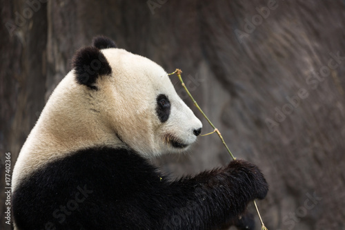 Panda eating bamboo isolated with blurred background Poster