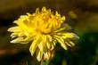 Leinwanddruck Bild - gelbe dahlie