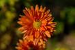 Leinwanddruck Bild - orange dahlie
