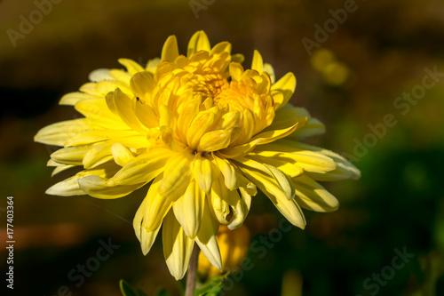 Leinwanddruck Bild gelbe dahlie