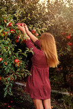 Girl is picking red apples in orchard - 177421560
