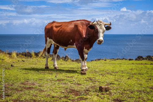 Beef on easter island cliffs Poster