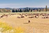 moutons en pâture, Provence, France - 177422537