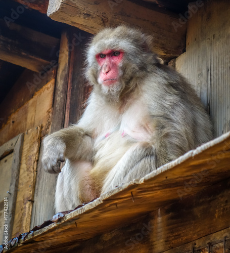 Aluminium Aap Japanese macaque on a rooftop, watayama monkey park, Kyoto, Japan